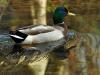 Canard colvert sur une rivière
